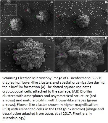 Cryptococcus-neoformans-biofilm-formation