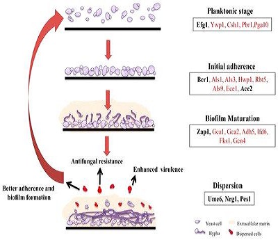 Candida-biofilm-formation-stages