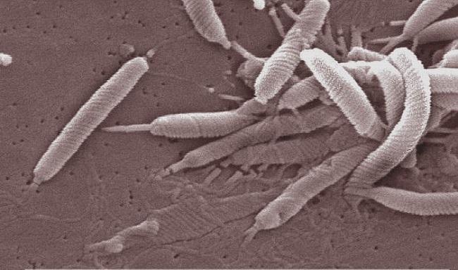 Helicobacter-pylori-bacteria