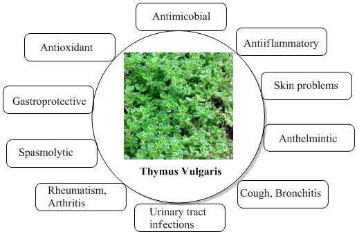 Therapeutic-activities-of-thyme-leaf