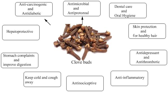 Therapeutic-uses-of-clove