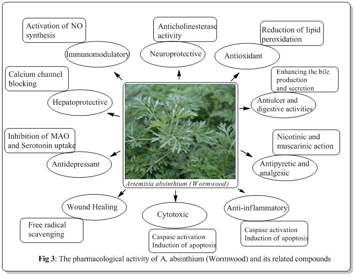Therapeutic-Uses-of-Wormwood