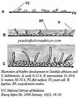 yeast biofilm construction