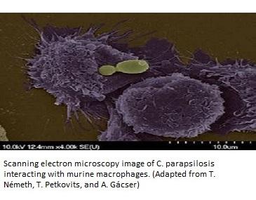 Candida-parapsilosis
