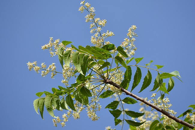 Neem-Leaves-and-Flowers